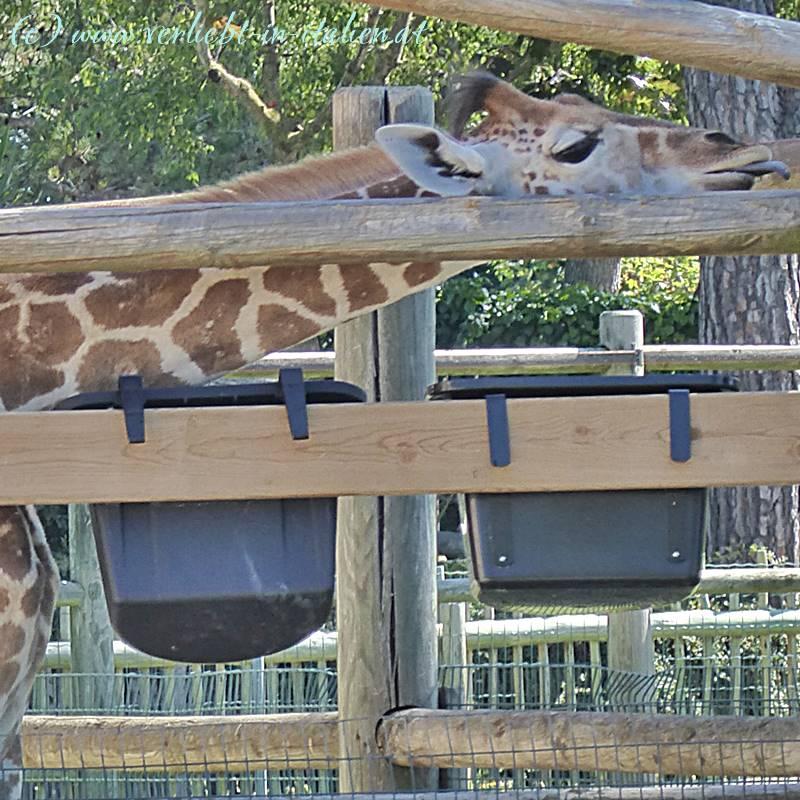 Das Giraffenkind zeigt uns doch wirklich die Zunge!